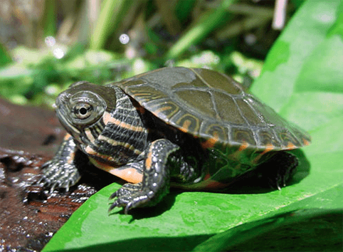 How to Take Care of a Painted Turtle