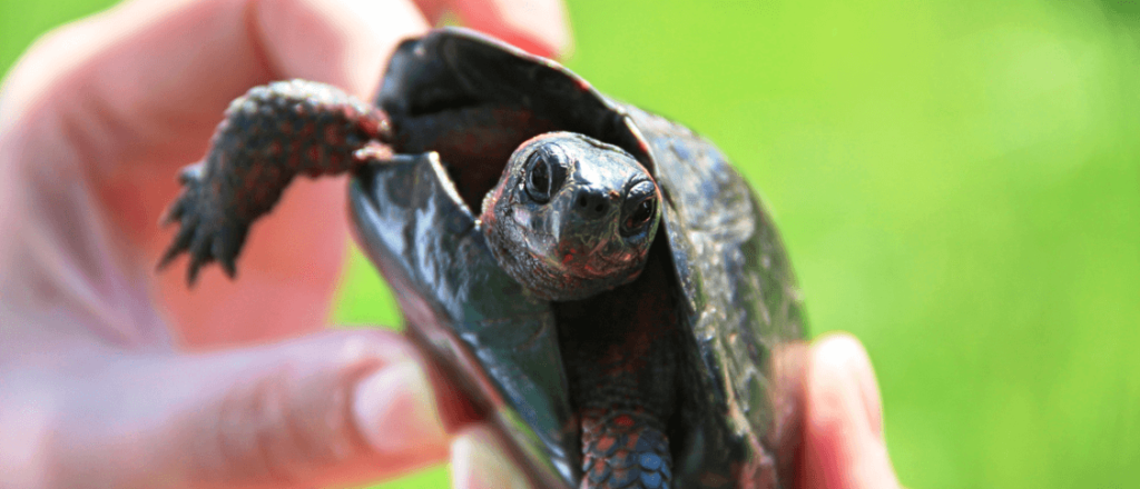 How Often Do Painted Turtles Eat