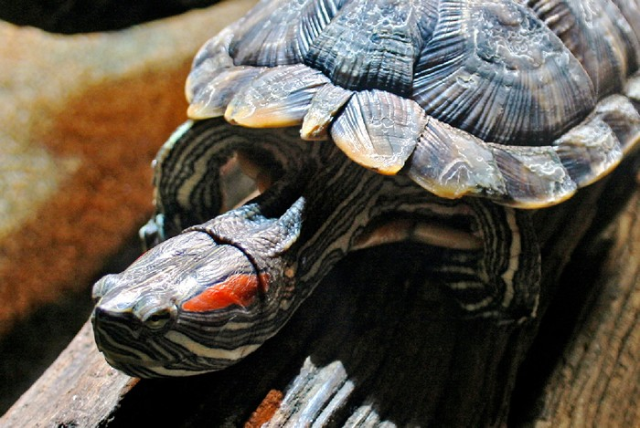 How big do red eared sliders get? 1