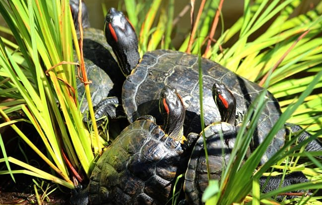 What Do Baby Red Eared Slider Turtles Eat