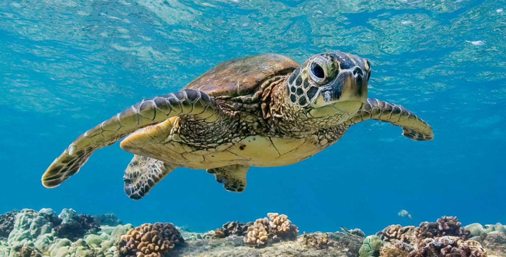How Long Can Sea Turtles Hold Their Breath 1