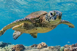 How Long Can Sea Turtles Hold Their Breath