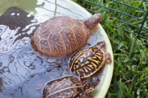 Can Box Turtles Swim?