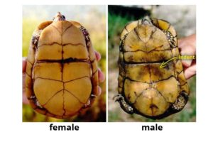 How Can You Tell if a Turtle is Male or Female